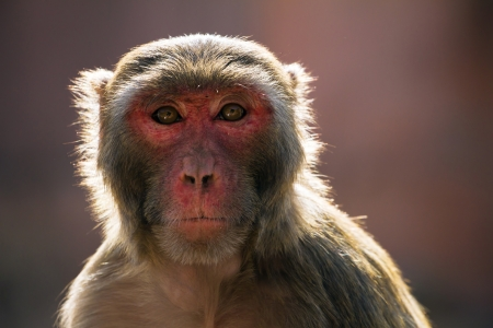 The rhesus macaque monkey (Macaca mulatta)