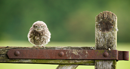Photo pour fuzzball, a little owlet sitting on an old farm gate - image libre de droit