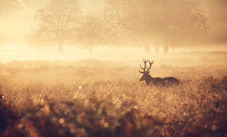 Photo for Large red deer stag silhouette in autumn mist - Royalty Free Image