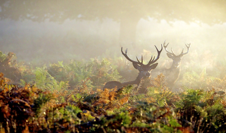 Photo pour Large red deer stag in autumn mist - image libre de droit