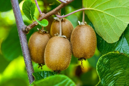 Foto de Juicy fruits of kiwi fruit. Kiwi on a branch in the garden - Imagen libre de derechos