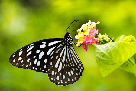 Photo for Side view of Butterfly: Tirumala limniace - Royalty Free Image