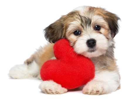 Photo for A cute lover valentine havanese puppy dog with a red heart isolated on white background - Royalty Free Image