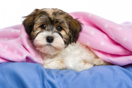 Cute little tricolor Havanese puppy dog is lying on a bed under a pink blanket.