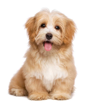 Foto de Beautiful happy reddish havanese puppy dog is sitting frontal and looking at camera, isolated on white background - Imagen libre de derechos