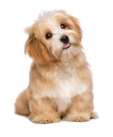 Foto de Beautiful happy reddish havanese puppy dog is sitting frontal and looking upward, isolated on white background - Imagen libre de derechos