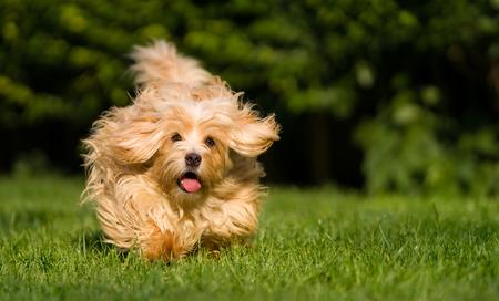 Happy orange havanese dog is running fast towards camera in the grass