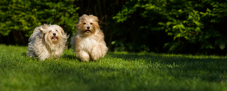 Two happy havanese dog is running towards the camera in the grass - wide banner format