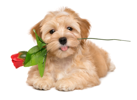 Photo for Happy lover havanese puppy dog lying with an artificial red rose in her mouth, isolated on white background - Royalty Free Image
