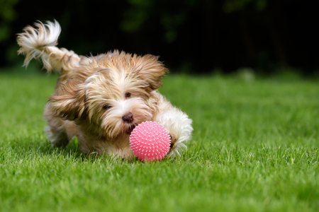 Photo for Playful havanese puppy dog chasing a pink ball in the grass - Royalty Free Image