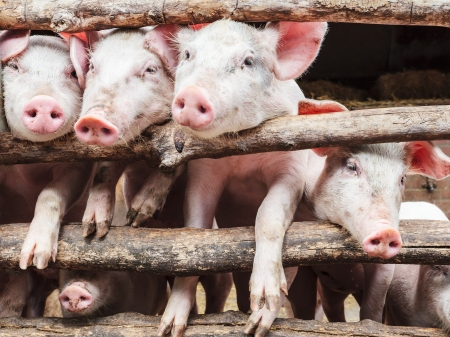 Row of curious young pigs in a wooden stable