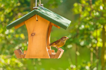 Photo pour Greenfinch visiting a hanging wooden seed feeder - image libre de droit
