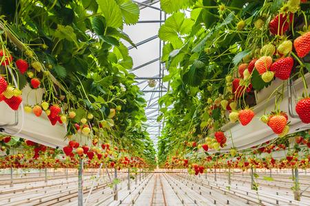 Foto de Industrial growth of strawberries in a Dutch greenhouse - Imagen libre de derechos