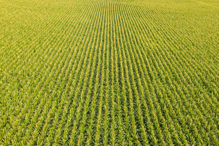 Foto de Aerial view of a farm field with rows of corn plants - Imagen libre de derechos