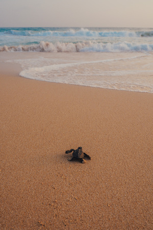 Photo for Small turtles backing to the ocean - Royalty Free Image