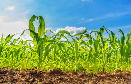Foto de View of corn field and blue sky in summer day - Imagen libre de derechos