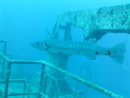 Foto de Barracuda in the ocean near a shipwreck - Imagen libre de derechos