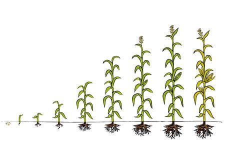 Ilustración de Maize Development Diagram - stages of growth - Imagen libre de derechos