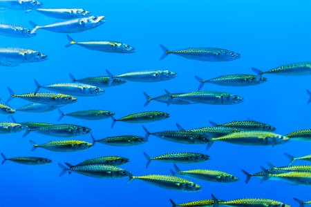 swarm of silver fishes in the blue sea