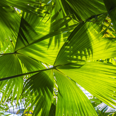 Photo pour beautiful palm leaves of tree in sunlight - image libre de droit