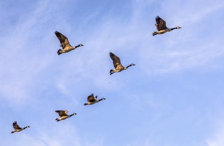 Foto de swarm of goose flying under blue sky - Imagen libre de derechos
