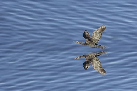 Foto de cormorant flying over the ocean to look for fishes - Imagen libre de derechos