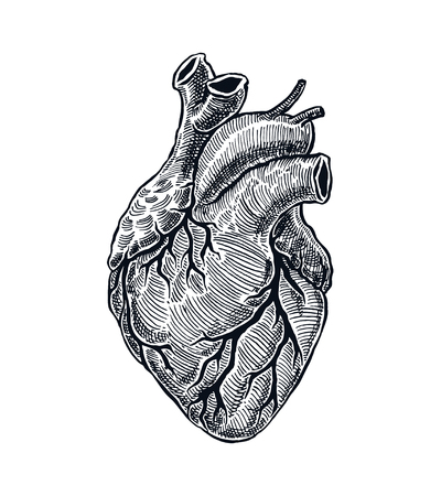 Illustration for Realistic Human Heart. Vintage style. Hand Drawn illustration - Royalty Free Image