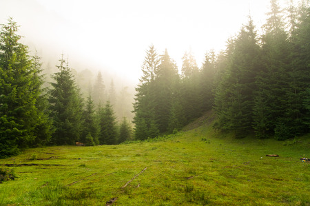 Photo pour Beautiful green pine trees on Carpathian mountains in Ukraine - image libre de droit