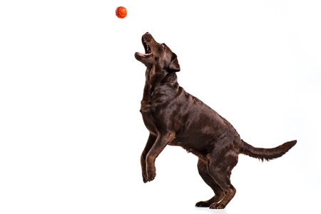 Photo pour The black Labrador dog playing with ball isolated on white - image libre de droit
