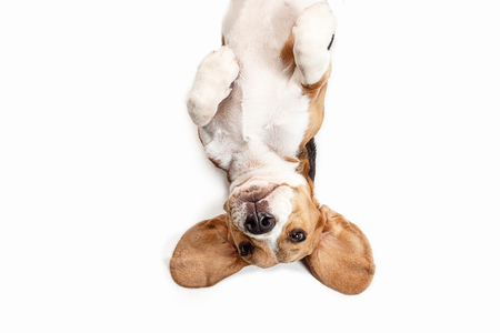 Photo pour Front view of cute beagle dog sitting, isolated on a white studio background - image libre de droit