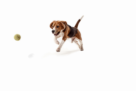 Foto de Front view of cute beagle dog with ball isolated on a white studio background - Imagen libre de derechos