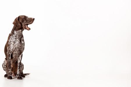 Foto de German Shorthaired Pointer - Kurzhaar puppy dog isolated on white studio background - Imagen libre de derechos