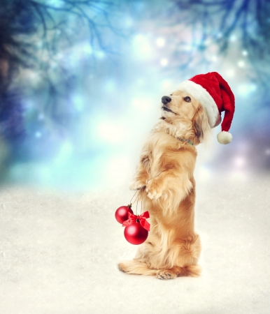 Photo pour Dachshund dog with Santa hat holding two Christmas baubles - image libre de droit