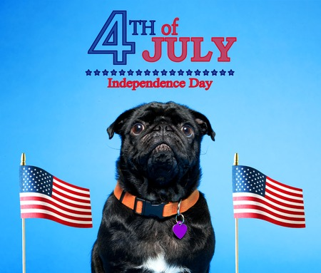 Photo for Black pug with an American flag on the fourth of July - Royalty Free Image