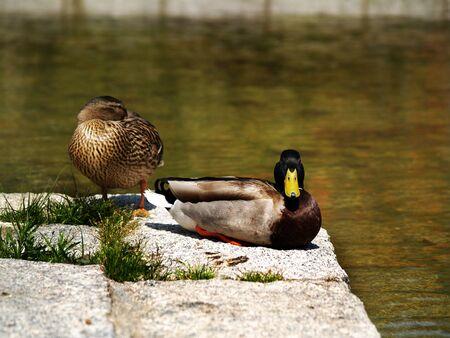 Foto de Colored ducks in a pond - Imagen libre de derechos