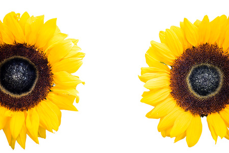 Photo for sunflowers heads isolated on white - Royalty Free Image