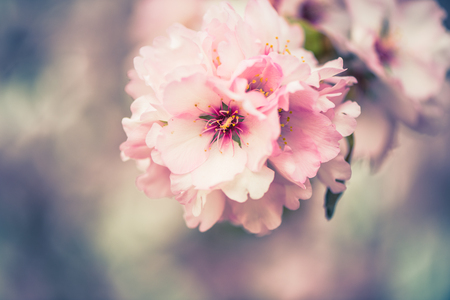 Photo pour Spring blossom orchard. Abstract blurred background. Pastel colors and toned effect. Copy space with border. - image libre de droit