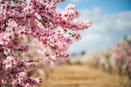 Photo for Spring blossom orchard. Beautiful nature scene with blooming tree and sun flare. - Royalty Free Image