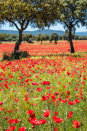 Photo pour Fields of summer poppy flowers in crop field, summer feeling - image libre de droit