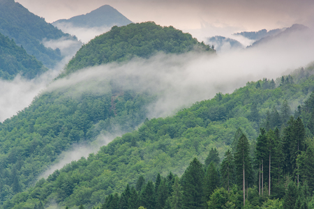 Photo for low lying cloud with the evergreen conifers shrouded in mist in a scenic landscape - Royalty Free Image