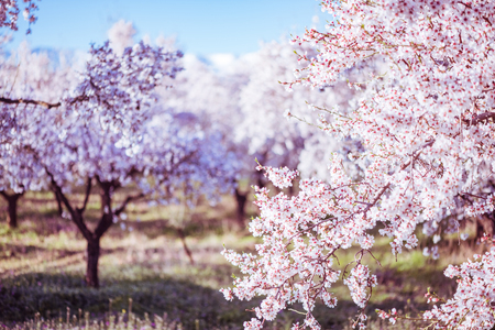 Photo for Delicate flowers on fruit trees at spring in orchard - Royalty Free Image