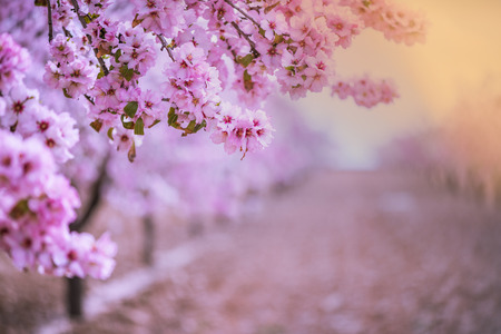 Photo for Spring blossom orchard. Abstract blurred background. Pastel colors and toned effect. Copy space with border. - Royalty Free Image