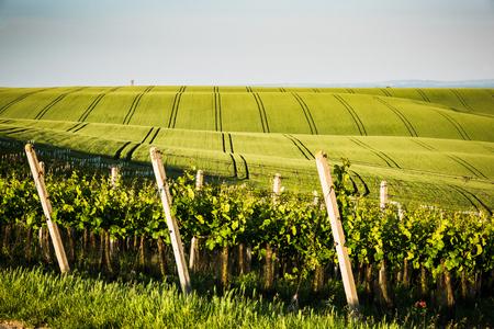 Foto de Vine yard and farm fields,rolling hills. - Imagen libre de derechos