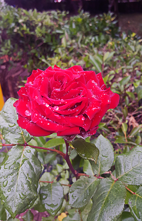 Photo for A single red damask rose with large petal leaves and water droplets and green leaves in full blossom - Royalty Free Image