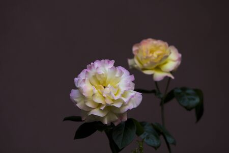 Photo for Close up image of a couple of damask roses with pink-yellow leaves, stem and green leaves on maroon background. - Royalty Free Image