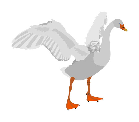 Swan spread wings vector illustration isolated on white background. Goose wide spread wings. Big bird nature pose.