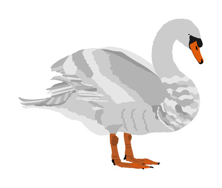 Swan vector illustration isolated on white background. Goose vector. Big bird from farm nature pose.