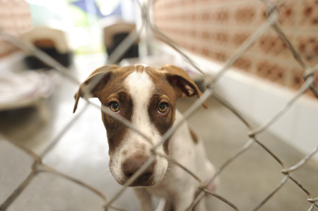 Foto de Shelter dog is is a beautiful dog in an animal shelter looking through the fence wondering if anyone is going to take him home today. - Imagen libre de derechos
