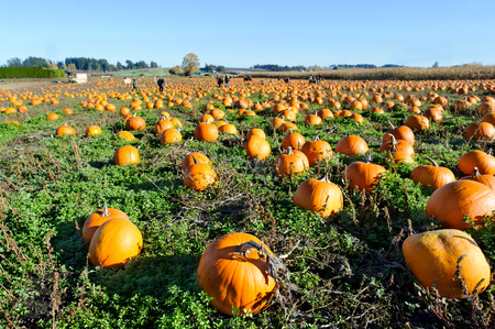 Photo for Pumkin patch is a pumkin patch field full of pumkins ready for halloween. - Royalty Free Image