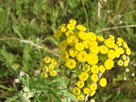 Foto de Tanacetum vulgare in the green summer meadow. Wildflowers tansy yellow background. Yellow flowers close up. Tanacetum vulgare common tansy is a medical herb. - Imagen libre de derechos